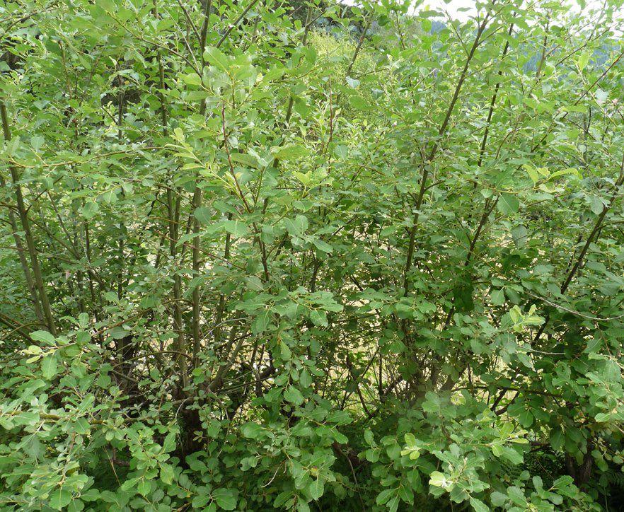 Saule à oreillettes / Saule à oreilles / Petit saule Marsault : taille 60/80 cm - racines nues