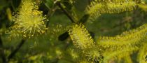 Saule blanc / Osier blanc / Saule commun / Saule argenté : taille 60/80 cm - racines nues