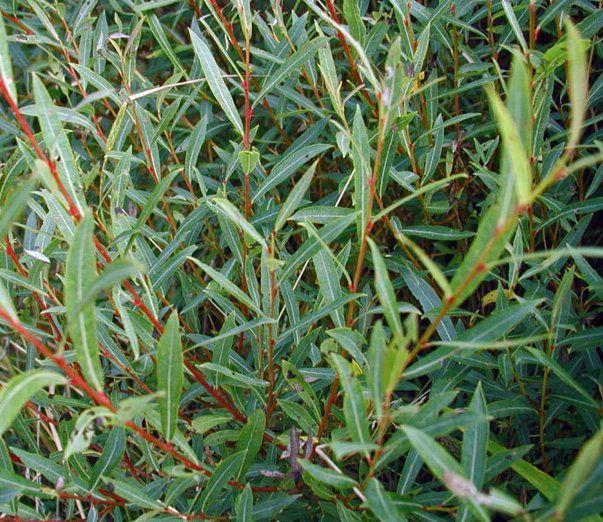Saule pourpre / Osier pourpre : taille 40/60 cm - racines nues