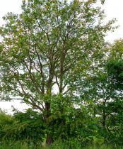 Sorbierdes bois, Sorbier torminal, taille 60/90 cm, racines nues : à l\'unité ou par lot de 5 plants