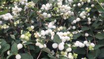 Symphorine Albus \'White Hedge\' : taille 30/40 cm - racine nues