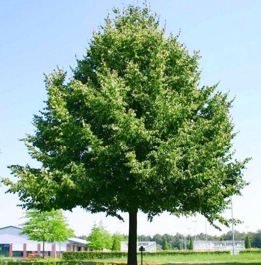 Tilleul à grandes feuilles / Tilleul de Hollande : taille 60/90 cm - racines nues